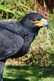 Black Eagle (Verreaux's Eagle) Portrait Stock Image