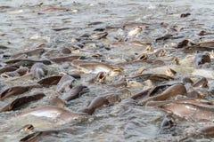 Black ear catfish Stock Images