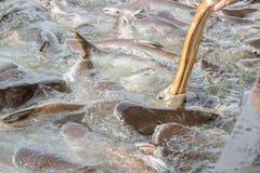 Black ear catfish Royalty Free Stock Image