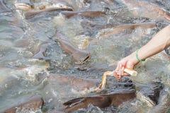 Black ear catfish Stock Photos