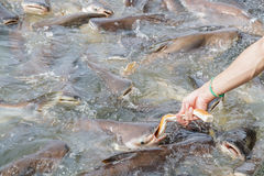 Black ear catfish Royalty Free Stock Photography