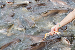 Black ear catfish Stock Photography