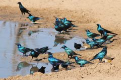 Black-Eared and Glossy Starling - Blue and Purple Line from Wild Africa Royalty Free Stock Photo