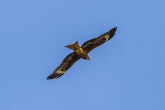 Black-eared Kite(Milvus lineatus) Royalty Free Stock Photography