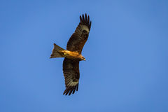 Black-eared Kite(Milvus lineatus) Stock Images