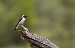 Black-eared Wheatear and Bee (Oenanthe hispanica) Royalty Free Stock Images
