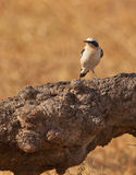 A Black-eared Wheatear on a log Royalty Free Stock Images