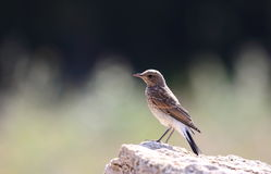 Black-eared Wheatear. The picture is a young black-eared wheatear - oenanthe hispanica posing nicely to me while being taken picture Stock Images