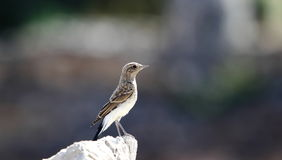 Black-eared Wheatear. The picture is a young black-eared wheatear posing nicely to me while being taken picture Royalty Free Stock Images