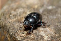 Dor beetle at pine forest, macro. Black Earth-boring dung dor beetle, Anoprotrupes stercorosus, portrait on stump at pine forest, macro Royalty Free Stock Image