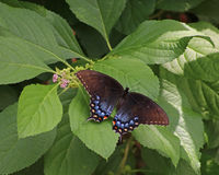 Black eastern Swallowtail butterfly. With wings outspread as it rests on a green plant Royalty Free Stock Images