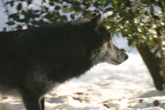 Black Eastern wolf. Side view of Black Eastern Canadian wolf in snowy countryside royalty free stock photo
