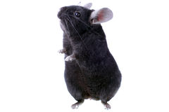 Black ebonite chinchilla Stock Photo
