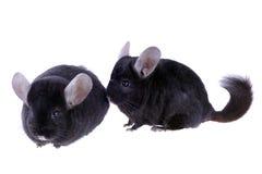 Black ebonite chinchilla Stock Photos