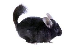 Black ebonite chinchilla Stock Photo