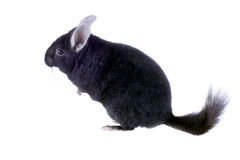 Black ebonite chinchilla Stock Images