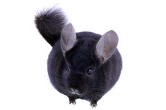 Black ebonite chinchilla Stock Images