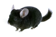 Black ebonite chinchilla Stock Photos