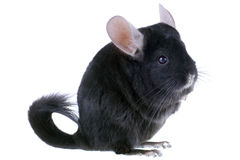 Black ebonite chinchilla Stock Photography