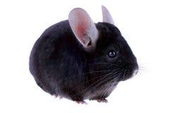 Black ebonite chinchilla Stock Image