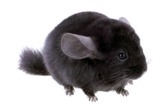 Black ebonite chinchilla Stock Photography