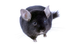 Black ebonite chinchilla on white background. Stock Image