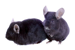 Black ebonite chinchilla on white background. Royalty Free Stock Photo