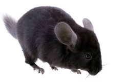 Black ebonite chinchilla on white background. Royalty Free Stock Photography