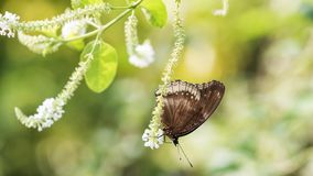 Black Eggfly butterfly on white flower. Black Eggfly butterfly stand on white flower plant with soft green blur bokeh background. Wild animal in spring greenery royalty free stock photography