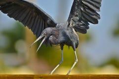 Black Egret Stock Photo
