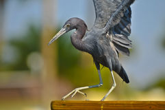 Black Egret Royalty Free Stock Photo