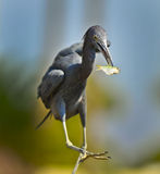 Black Egret Royalty Free Stock Photos