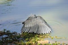 Black Egret fishing Royalty Free Stock Photos