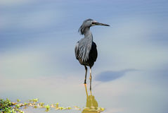 A Black Egret working the shallows. In the Gambia Royalty Free Stock Photo