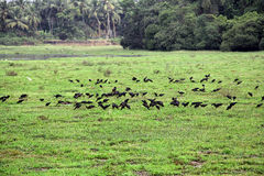 Black Egrets Feeding on Lake Bed Royalty Free Stock Images