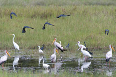 Black Egrets, storks and spoonbill Royalty Free Stock Photo