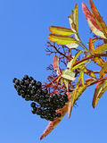 Black elder berries Royalty Free Stock Photography