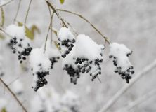 Black Elder Berries Covered With Fresh Snow Stock Photos