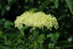 Black elder flower. Buds in summer, blooming Elder, Sambucus nigra Royalty Free Stock Image