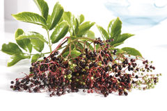 Black elder (Sambucus nigra) stock photo