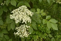 Black elder. White beautiful flowers of black elder Stock Photos