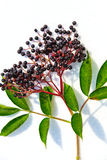 Black Elderberry Stock Image
