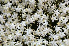 Black Elderberry flowers (Sambucus nigra) Royalty Free Stock Photo