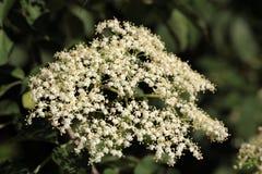 Black Elderberry flowers (Sambucus nigra) Stock Image
