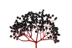 Black Elderberry isolated Stock Photography
