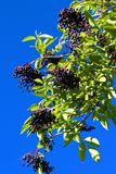 Black Elderberry Royalty Free Stock Photo