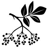 Black elderberry. Silhouette black and white image of elderberry Royalty Free Stock Photography