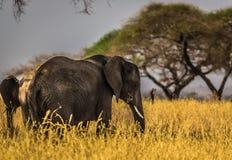 Black Elephant on Grass Field Stock Image