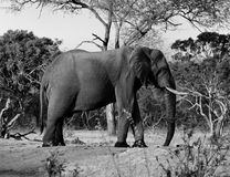 Black Elephant Gray Scale Photography Stock Photo