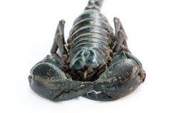 Black Emperor Scorpion Royalty Free Stock Photos